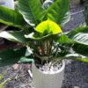 Chuyên bán và cho thuê cây đế vương xanh tại tphcm