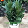 cây-phát-tài-búp-sen-trồng-trong-đất-2