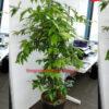Chuyên cung cấp và cho thuê cây trúc nhật tại tphcm