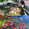 thiết kế thi công hồ cá koi tphcm11