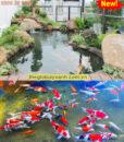 thiết kế thi công hồ cá koi tphcm4