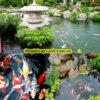 thiết kế thi công hồ cá koi tphcm9