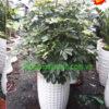 Chuyên cung cấp và cho thuê cây ngũ gia bì tphcm