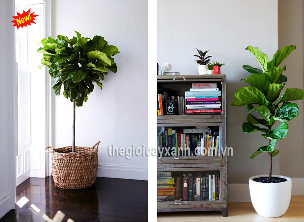 cây bàng singapore trồng trong nhà