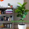 cây bàng singapore trồng trong nhà 3