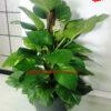 cây-trầu-ông-new-2
