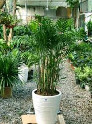 bí quyết trồng cây cau hawai