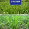 co-paspalum-5