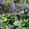 cay-hoa-mai-xanh-6