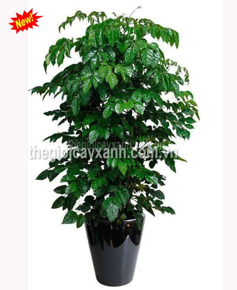 Chuyên bán và cho thuê cây hạnh phúc uy tín giá rẻ